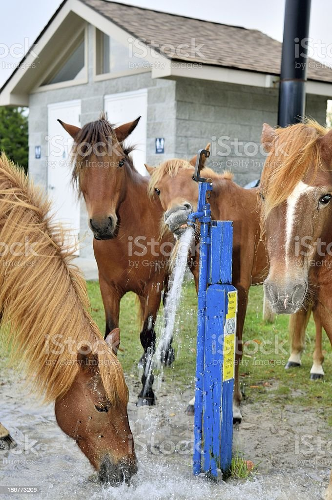 Assateague Ponies Watering royalty-free stock photo