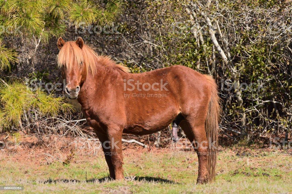 Assateague Pony Erection stock photo