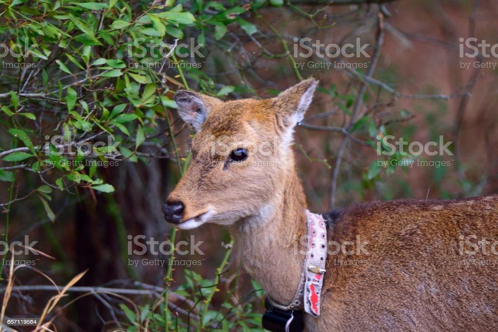 Assateague Sika Deer stock photo