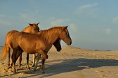 An Assateague stallion in the background with his two mares, one mare stepping out on the beach