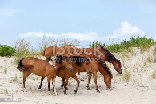 istock Assateague Wild Ponies on the Beach 480311509