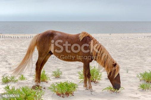 istock Assateague Wild Pony 480060015