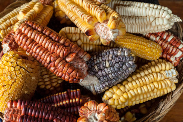 Assorted Andean corn varieties Different kinds of corn found in Peru, Bolivia and the Andes sweetcorn stock pictures, royalty-free photos & images