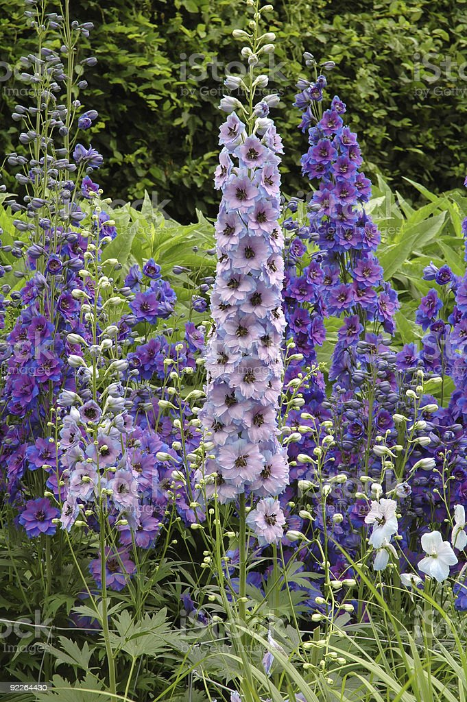 Assorted Delphiniums group stock photo