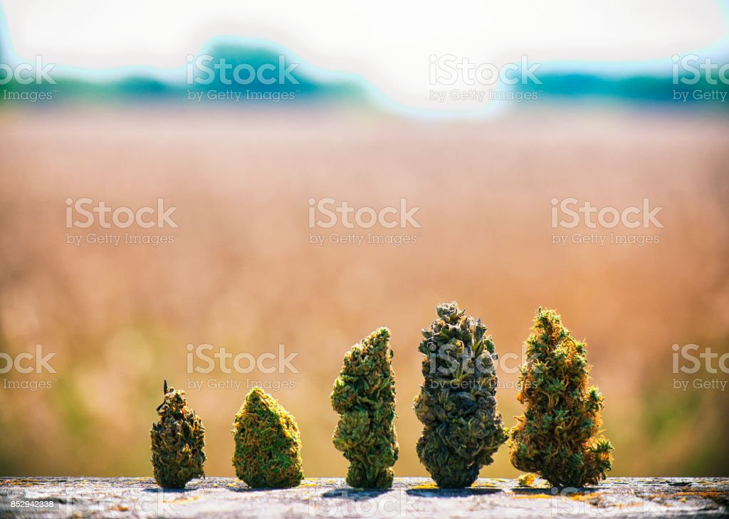 Assorted dried cannabis buds in a line over natural landscape - medical marijuana concept stock photo