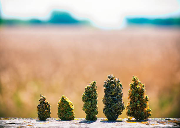 assorted dried cannabis buds in a line over natural landscape - medical marijuana concept - legalizzazione foto e immagini stock