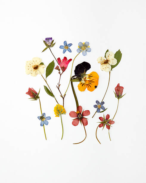 assorted dried wildflowers arranged against white background - dode plant stockfoto's en -beelden