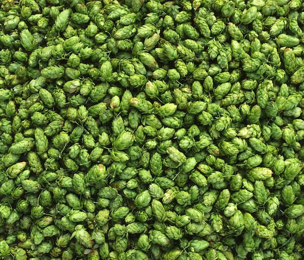Assorted green hops stock photo
