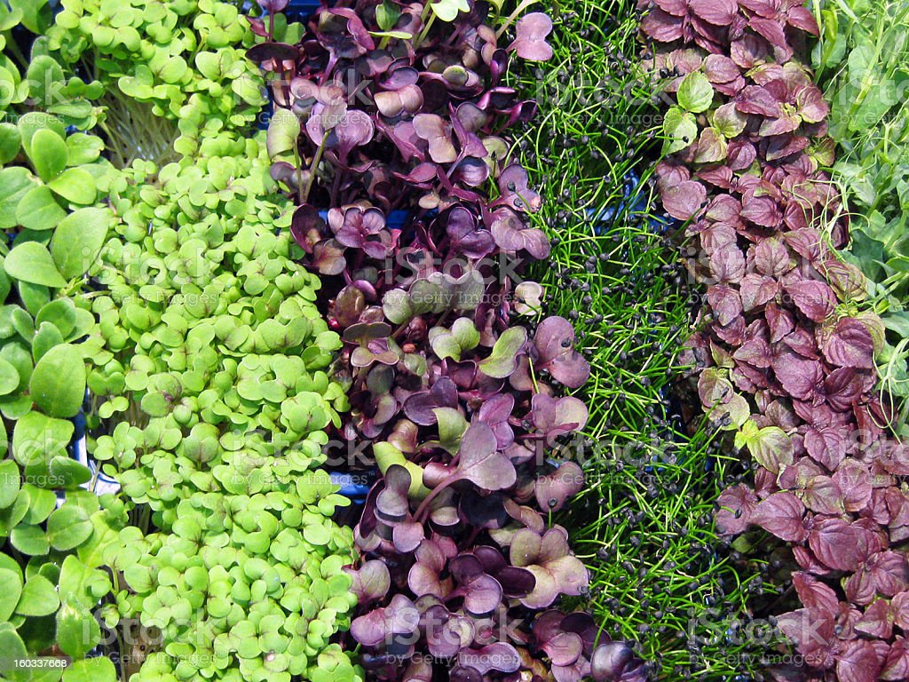Assorted Microgreens Close-Up stock photo