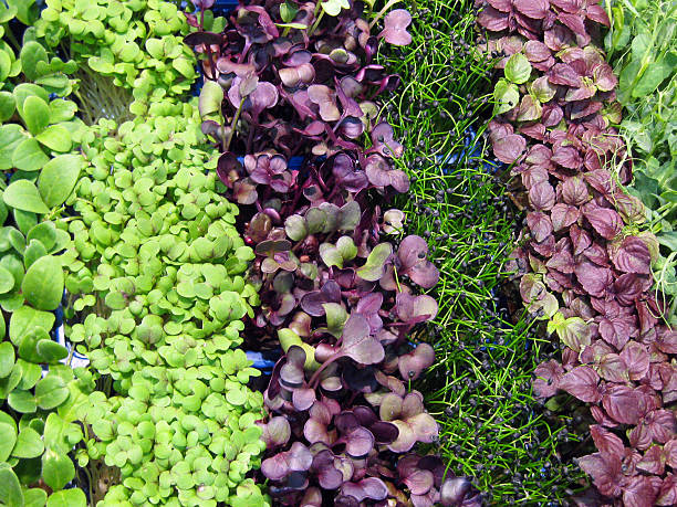 Assorted Microgreens Close-Up At a Farmer's Market. microgreen stock pictures, royalty-free photos & images
