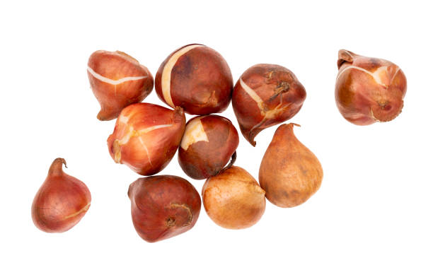 Assorted tulip bulbs isolated on white background. Overhead view. Assorted tulip bulbs isolated on white. plant bulb stock pictures, royalty-free photos & images