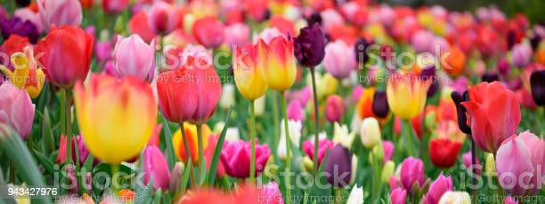 Assorted tulips in all colors large picture picture id943427976?b=1&k=6&m=943427976&s=612x612&h=alow ahcumixf7ms8mudhw9uvchebqhtc3mtmogw fi=