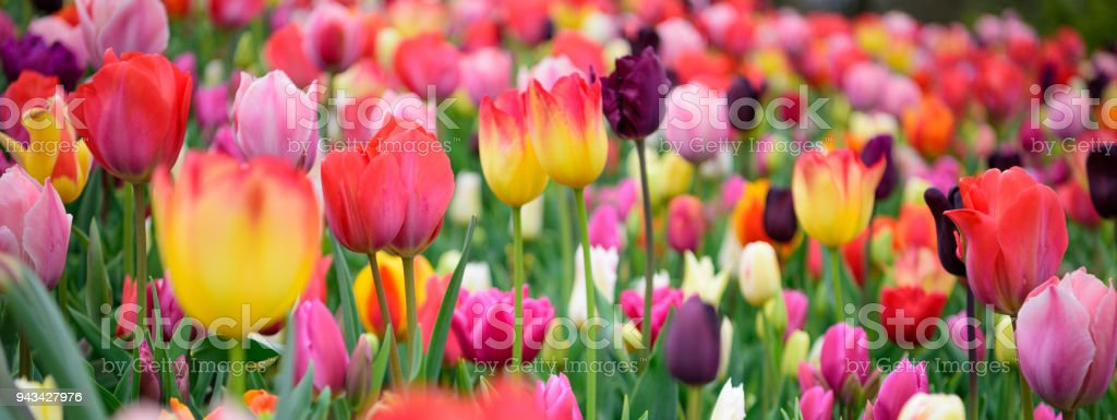Assorted tulips in all colors, large picture - foto stock