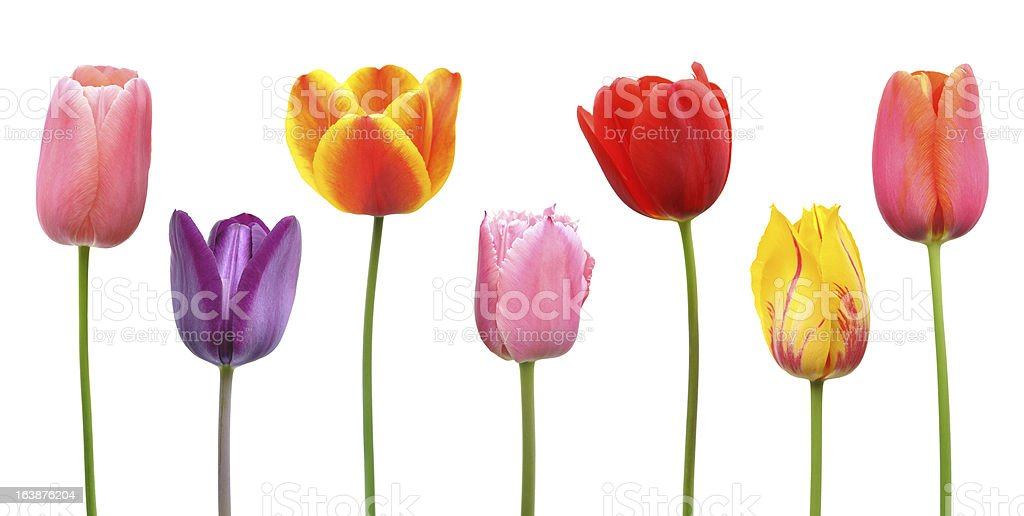 Assorted tulips in pink, purple, orange, red, and yellow stock photo