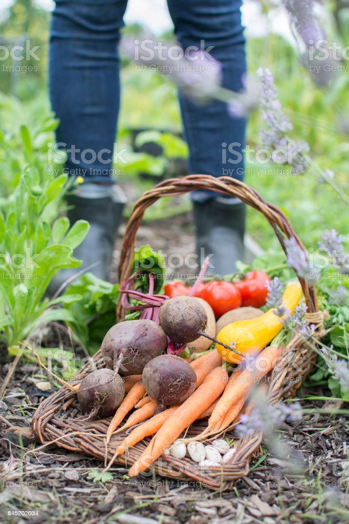 Assortment of fresh vegetables in trug basket on allotment. stock photo