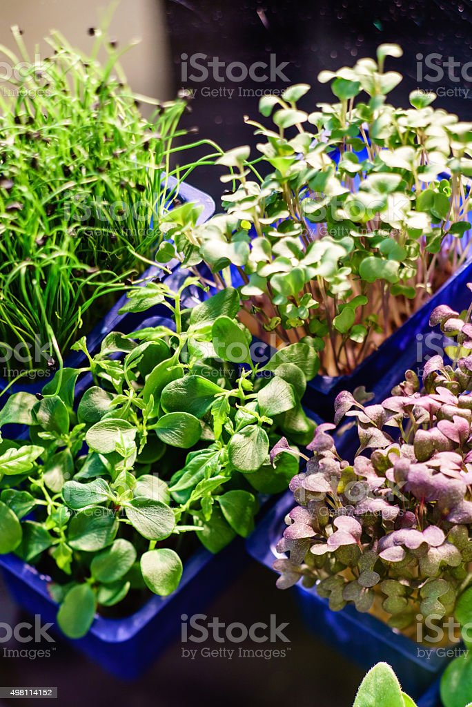 assortment of microgreens stock photo
