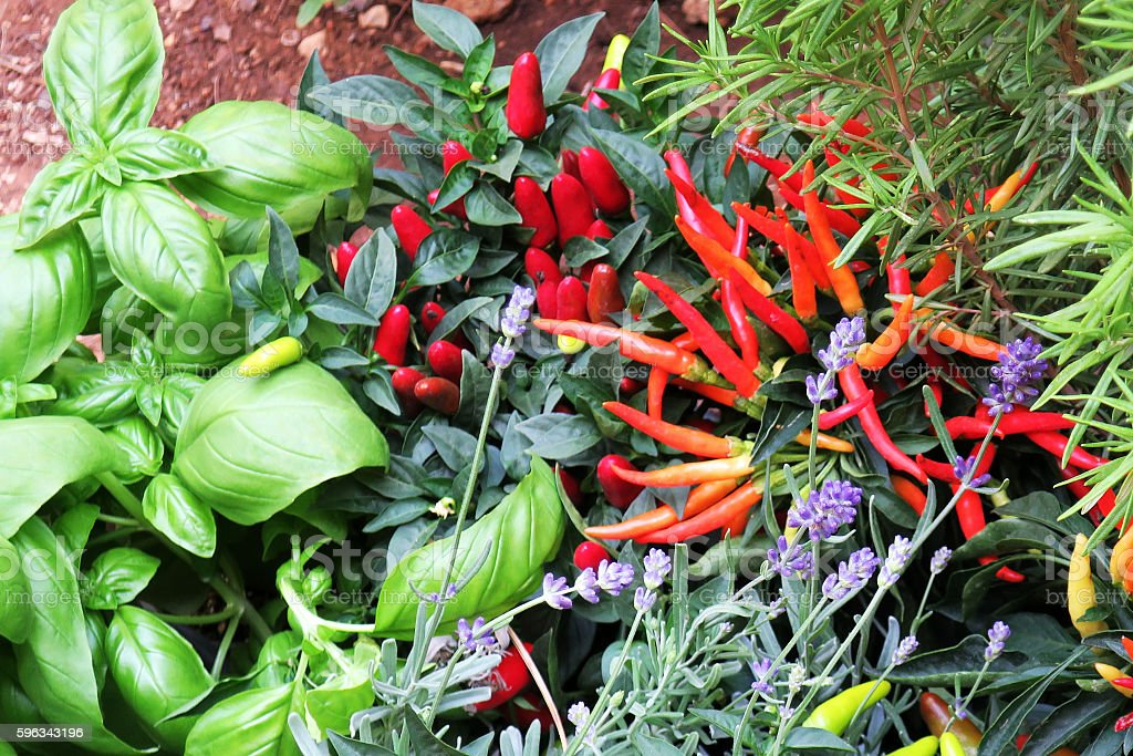 Assortment of spices in a backyard garden royalty-free stock photo