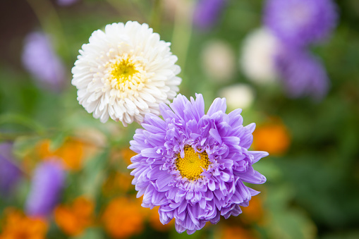 Aster - an ornamental plant with beautiful inflorescences-baskets. Green flower background