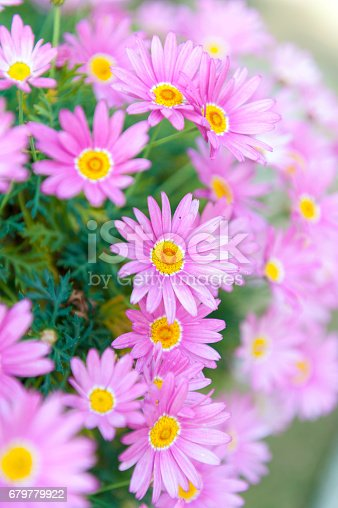 istock Aster cordifolius - pink flowers during blossom season in botanic garden 679779922