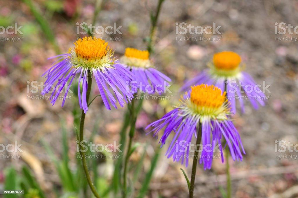 Aster diplostephioides, summer flower stock photo