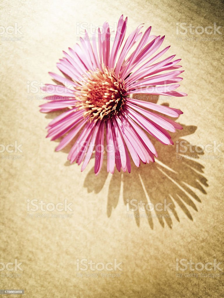 aster flower close-up royalty-free stock photo