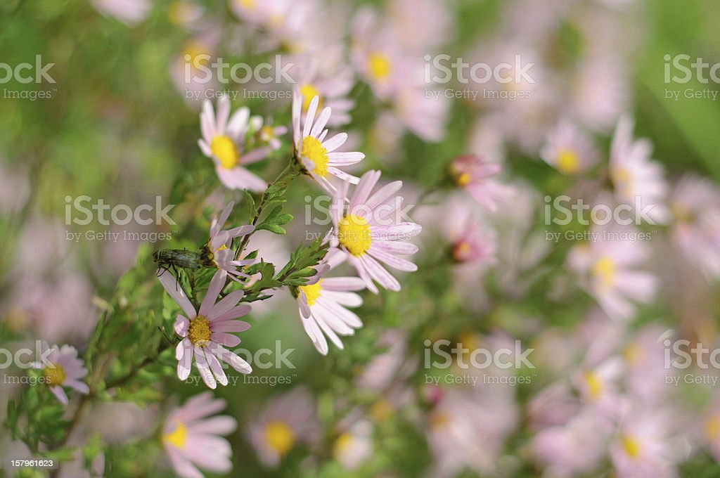 Aster flower royalty-free stock photo