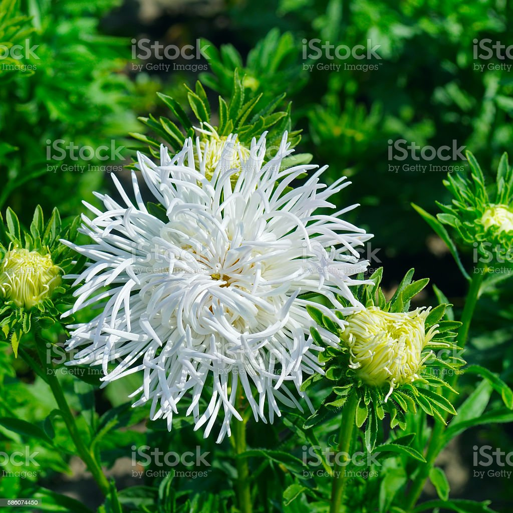 Aster Flowerbed In Summer Focus On A White Flower Stock Photo More