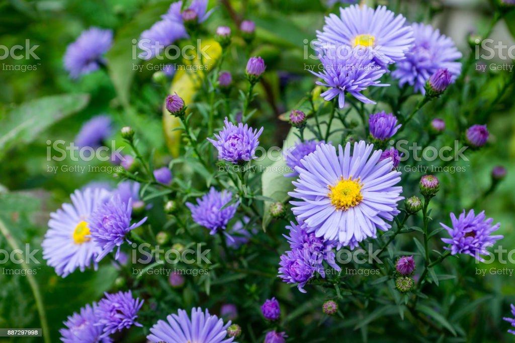 Aster Blumen blühen im Garten – Foto