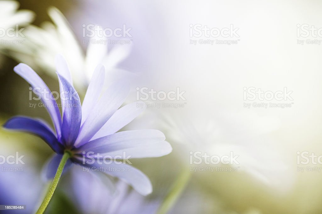 aster flowers in spring stock photo