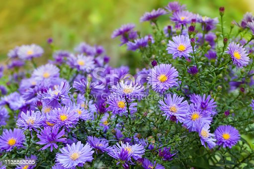 violet aster flowers in the garden