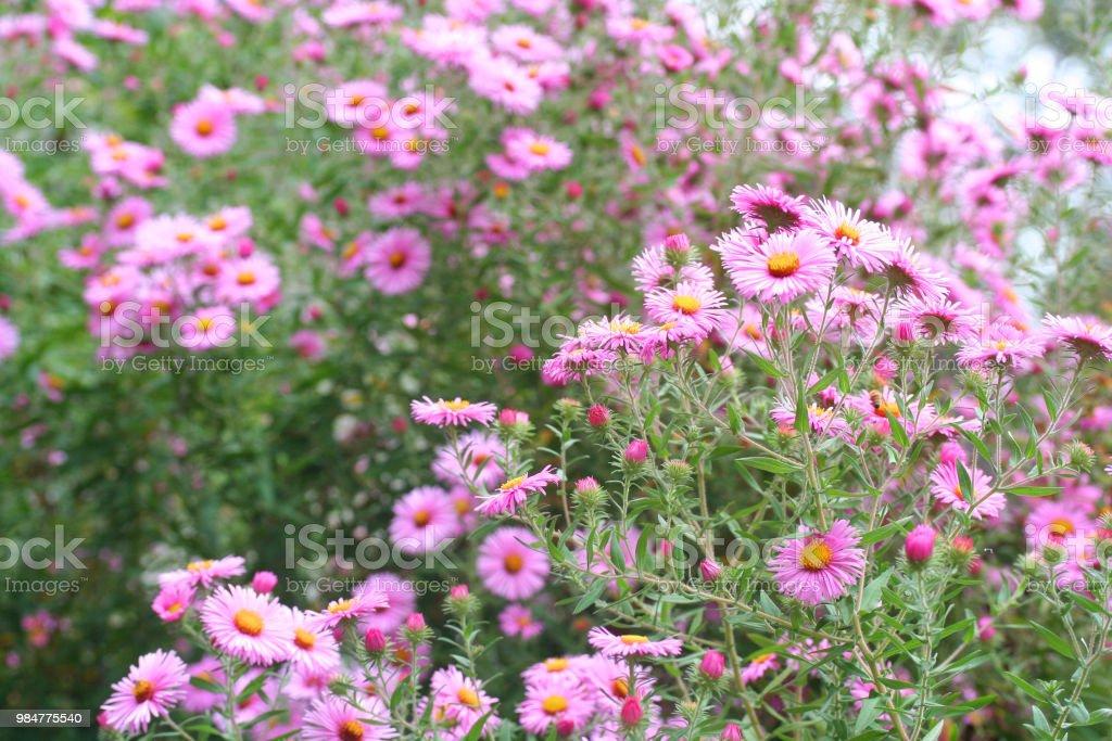 Aster Frikartii Blumen – Foto