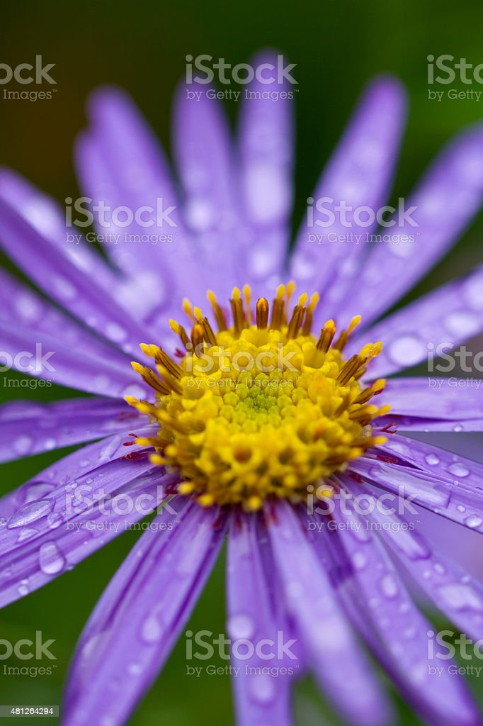 Aster frikartii 'Monch' stock photo