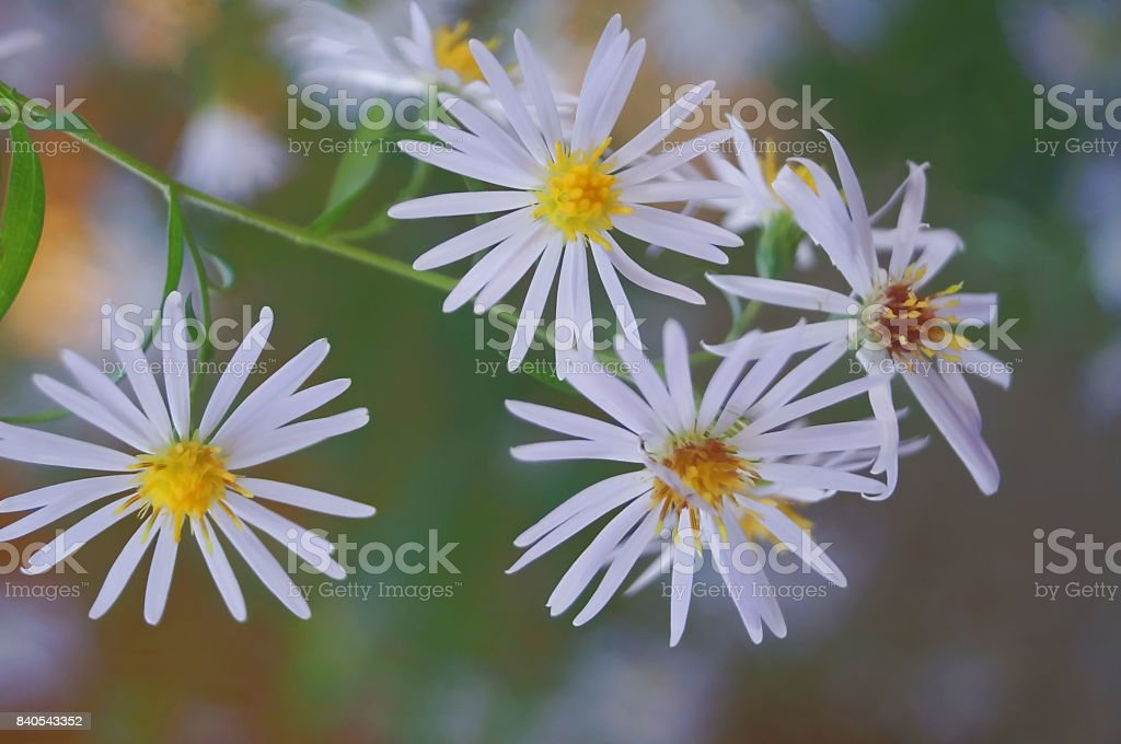 Aster heavenly flowers stock photo