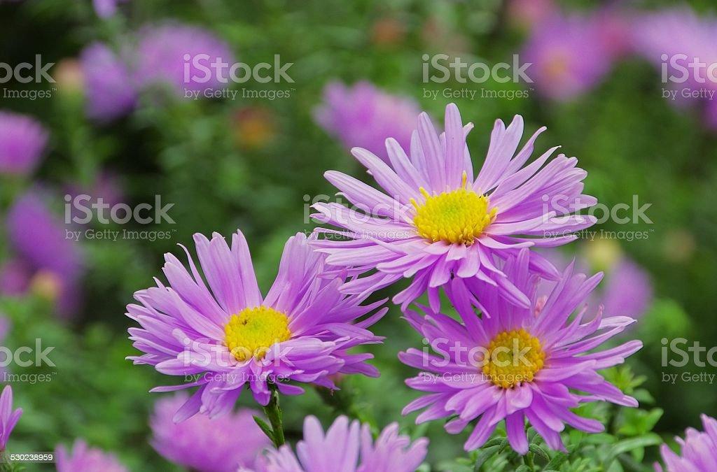 Aster Novi Belgii stock photo