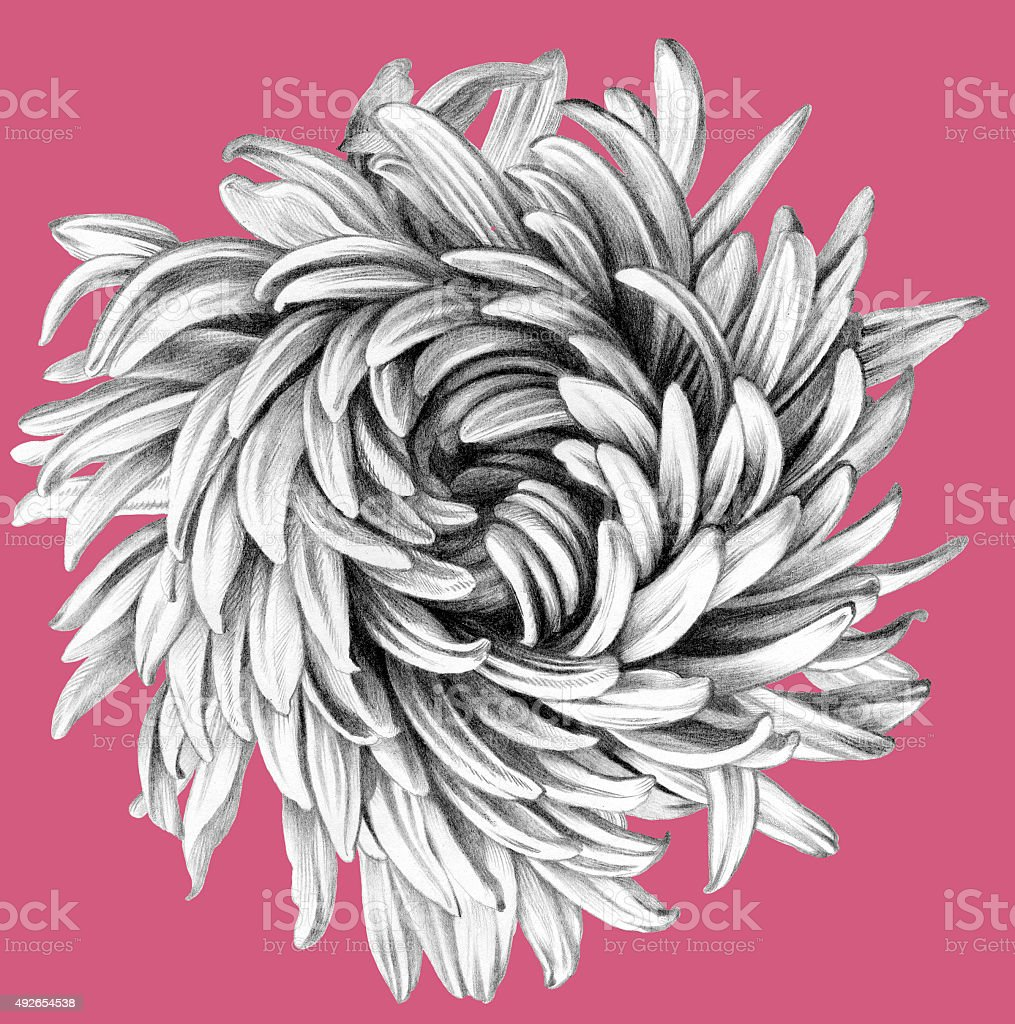 Aster. Pencil Drawing. stock photo