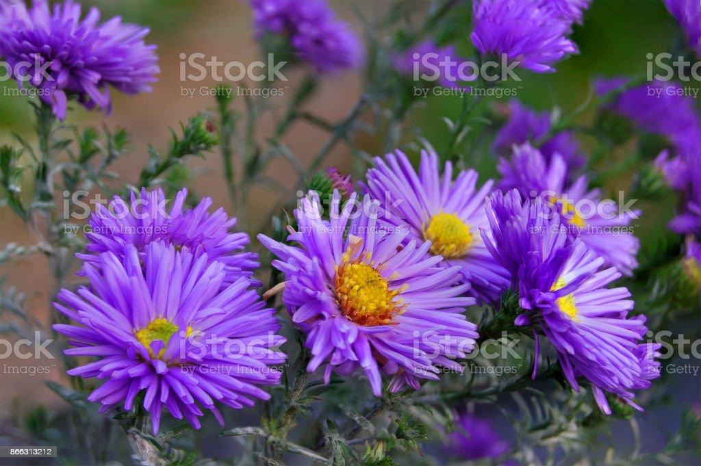 Photo libre de droit de Aster Vivaces Bleus Fleurs Deau Dans Le ...