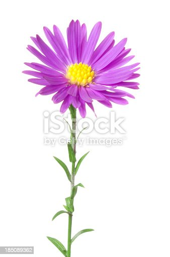 Pink aster on white background.