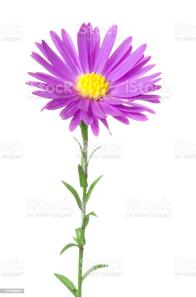 Aster. stock photo