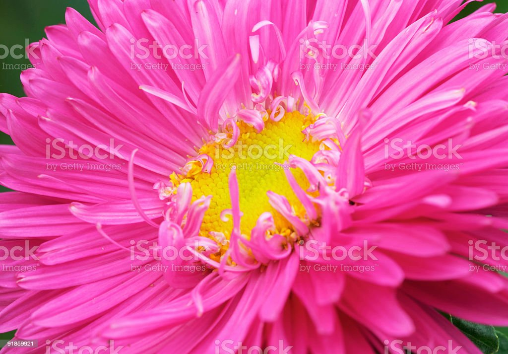 aster #2 royalty-free stock photo