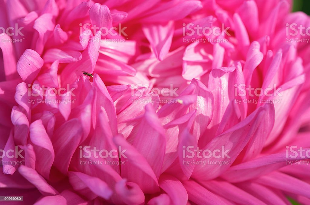 aster #1 royalty-free stock photo