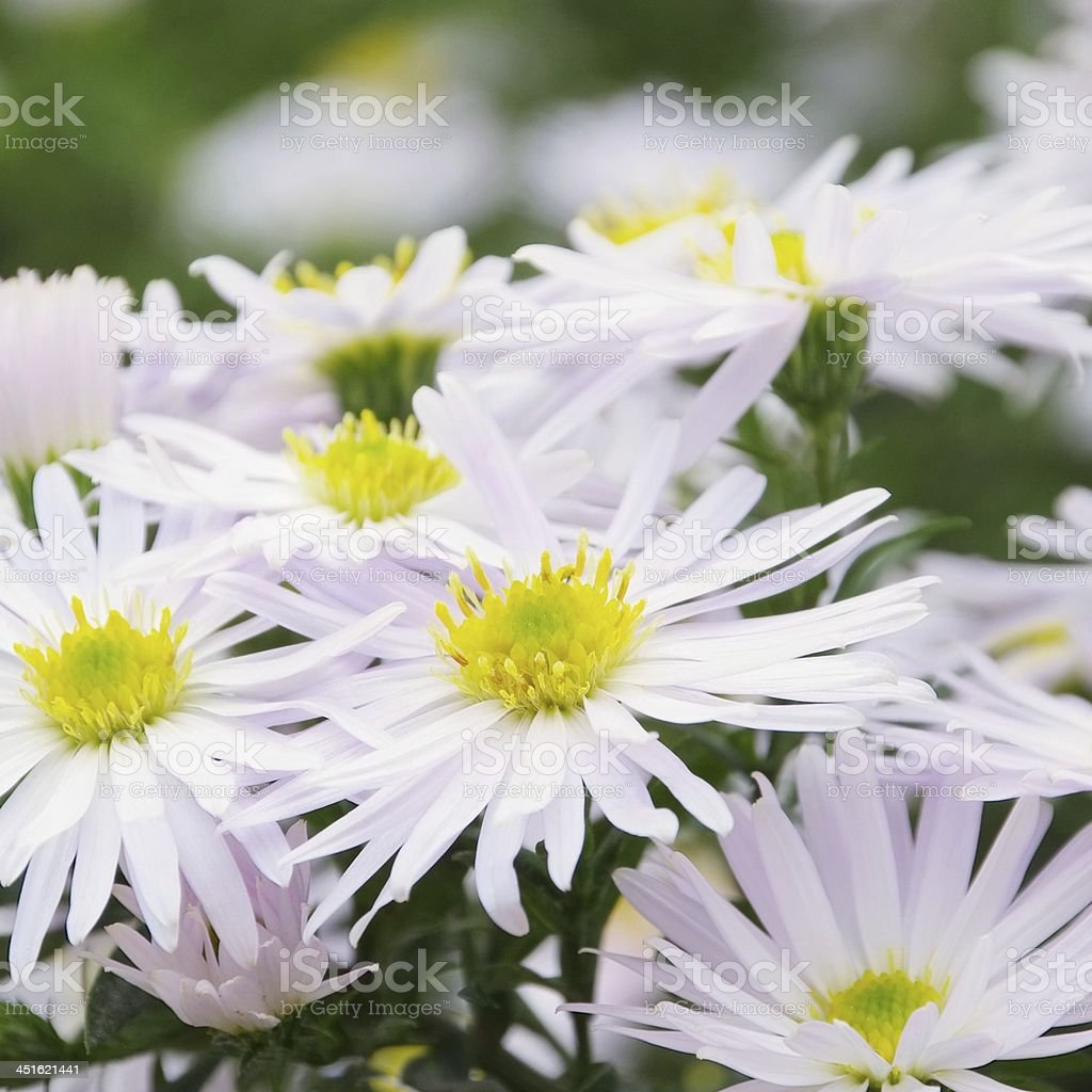 Aster white stock photo