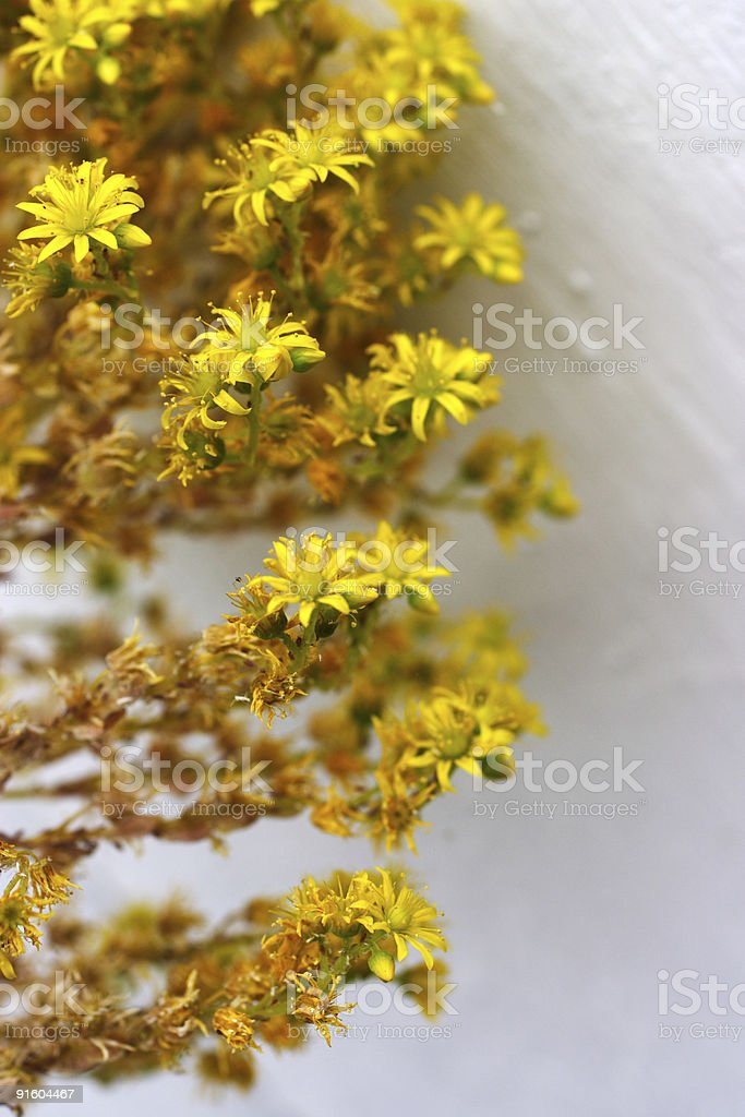 asters against white background royalty-free stock photo