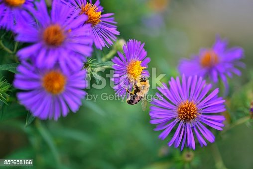 A small grouping of Aster, Aster amellus, fall blooming wildflowers with a Bumblebee feeding on the nectar and spreading the pollen to propagate the species at Sunset Park in Ocean City, Maryland