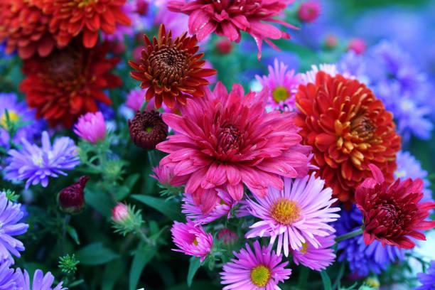 Astern und Chrysanthemen – Foto