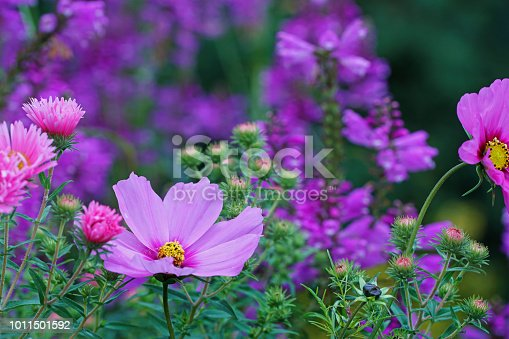 Asters, dahlias, false dragonhead and garden cosmos, Germany, Eifel. Please see more similar asters, dahlias, false dragonhead and garden cosmos pictures of my portfolio. Thank you!