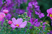 Asters, dahlias, false dragonhead and garden cosmos, Germany, Eifel.\nPlease see more similar asters, dahlias, false dragonhead and garden cosmos pictures of my portfolio. Thank you!