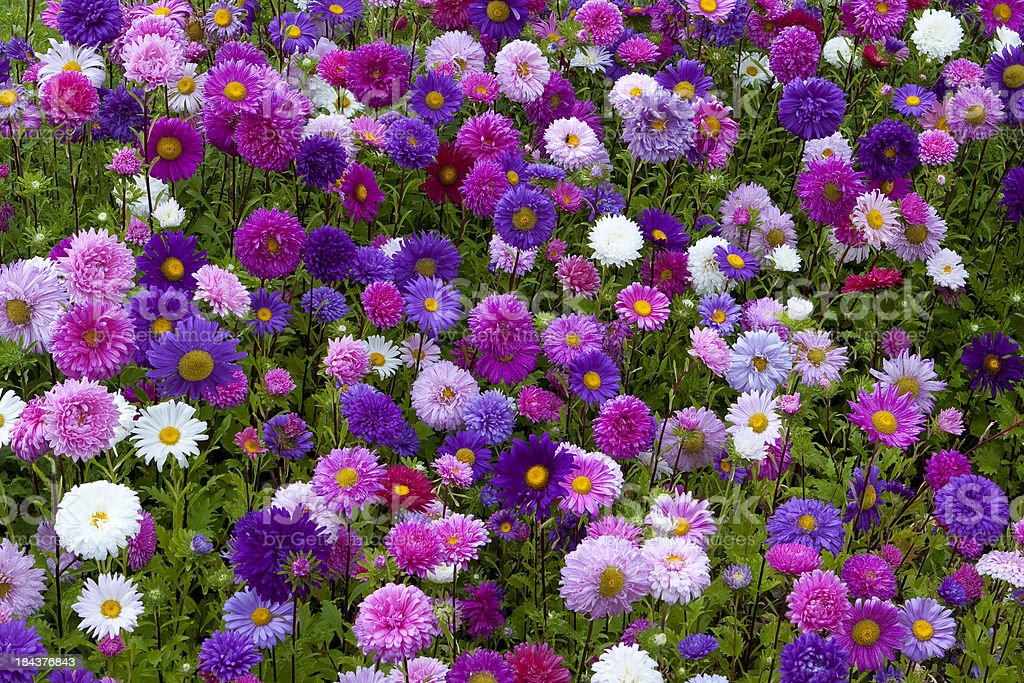 Asters Flower Bed stock photo