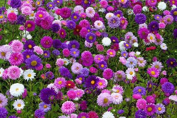 Asters Blume Bett – Foto