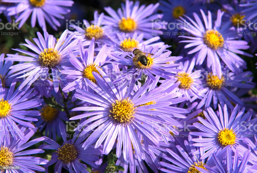 Asters with bee collecting pollen stock photo