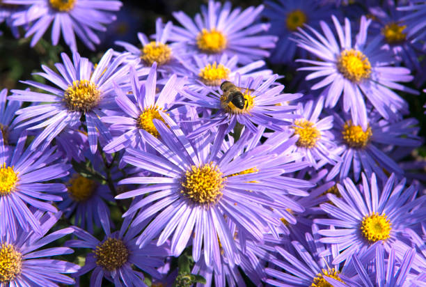 Astern mit Bee Pollen sammeln – Foto